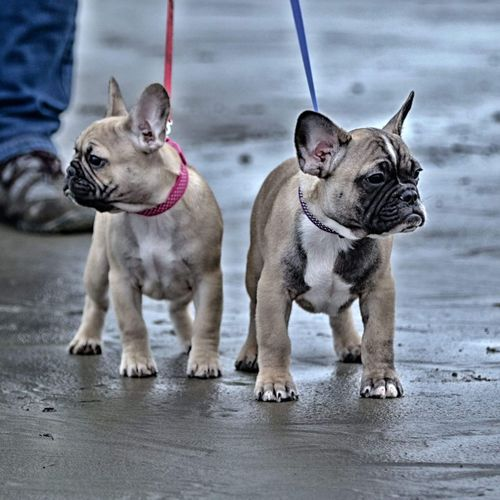 Beach Walk #sisterandbrother Frenchbulldogpuppy Frenchiepuppies Frenchbulldogs Love Puppies #frenchbulldogpuppies EyeEm Selects Pets Dog Animal Domestic Animals Animal Themes Beach Cold Temperature