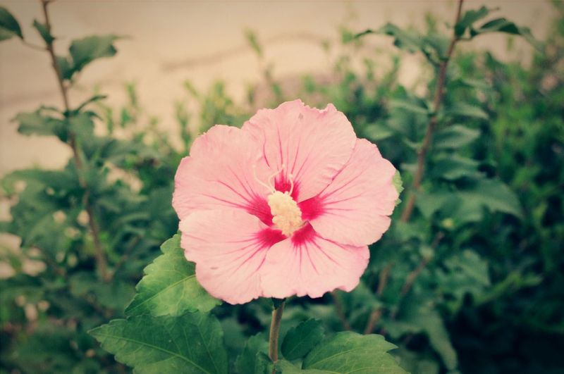Flower Flower Head Fragility Petal Plant Nature Beauty In Nature Day Pink Color Freshness Growth Outdoors Close-up No People Rose Of Sharon Hibiscus 🌺 National Flower Blooming Focus On Foreground Hibiscus