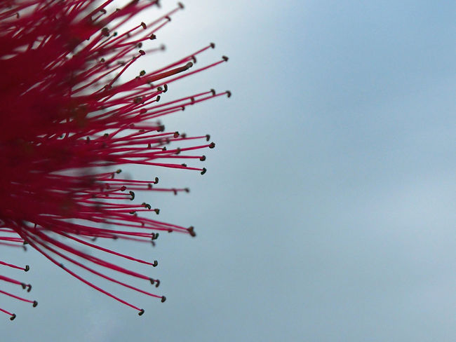 A closeup of a Pohutukawa tree flower isolated against a summer sky Bloom, Flower Christmas Flora, Isolated New Zealand Native Tree Pohutukawa Tree Airshow Arts Culture And Entertainment Background Celebration Clear Sky Day Low Angle View No People Outdoors Sky