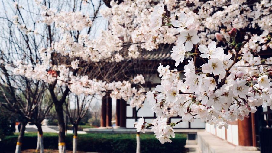 Flower Blossom Cherry Blossom Tree Cherry Tree Fragility Branch