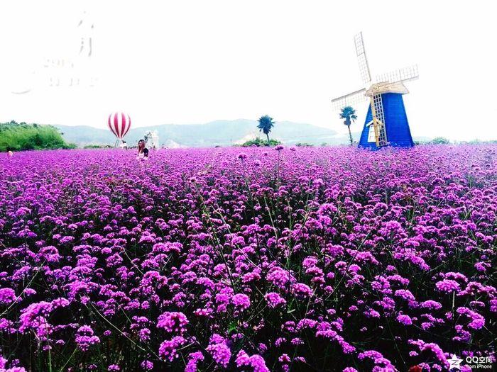 盛开在海边的薰衣草,风车房在紫色的薰衣草中特别抢眼。 First Eyeem Photo