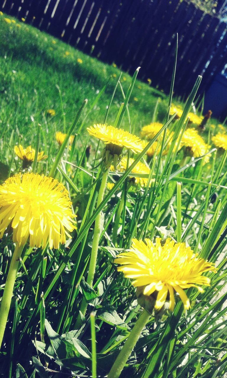 flower, yellow, growth, nature, freshness, beauty in nature, fragility, plant, petal, green color, flower head, no people, grass, outdoors, close-up, day, blooming