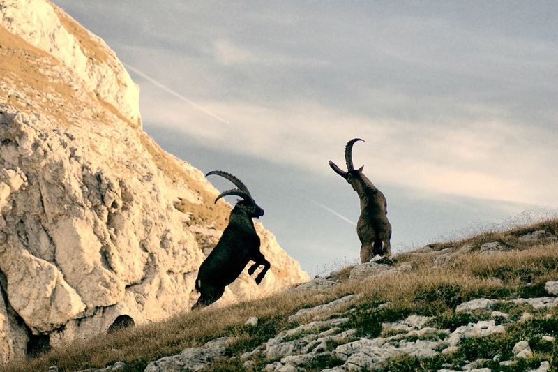 Mountain goats fighting against sky