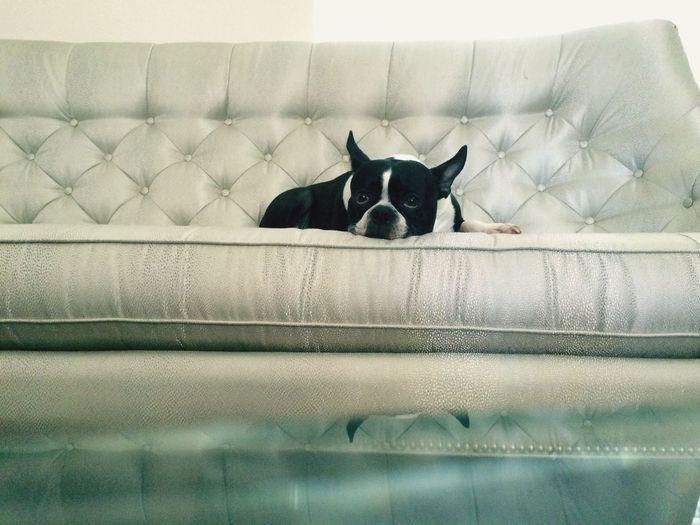French bulldog lying on sofa at home