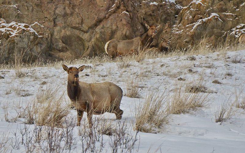 An elk seen in