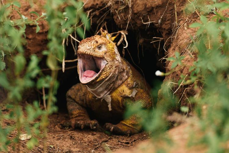 Lizard in a field