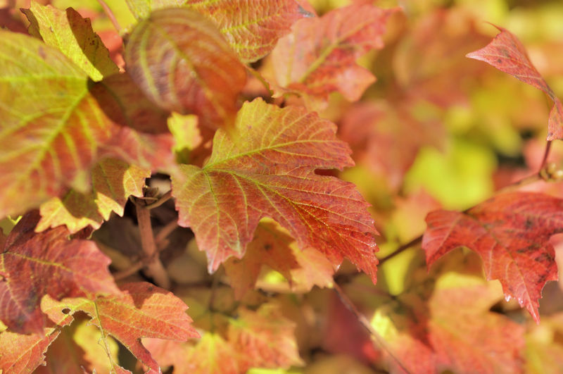 Autumn Bush Change Close-up Colrful Fall Foliage Leaf Nature Plant Plant Part Real People Virginia Creeper