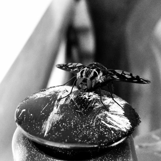 'Who' caught who✨...spent way to much time with this Tiger Bee Fly✨??? Tadaa Community Black & White Insects  Eye Em Nature Lover