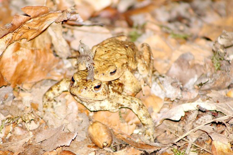Toads Mating Time Reptile Camouflage Looking At Camera Portrait Close-up