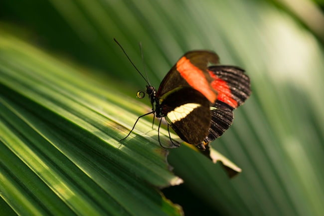 butterfly fly Animal Themes Animal Wildlife Animals In The Wild Backlight Beauty In Nature Butterfly Close Up Close-up Day Green Color Growth Harmonic Insect Leaf Nature Nectar No People One Animal Outdoors Palmleaf Palmleaves Papillon Sunset EyeEmNewHere