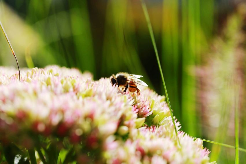 Biene Canonphotography Canon_photos Canoneos6d Canon Insect One Animal Animal Wildlife Animals In The Wild Flower Animal Themes Bee Selective Focus Honey Bee Nature Outdoors No People Day Beauty In Nature Flower Head Wildlife