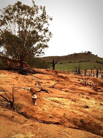 Kelpiesofaustralia Australian Landscape Australian Outback Cattledog my dog Matilda