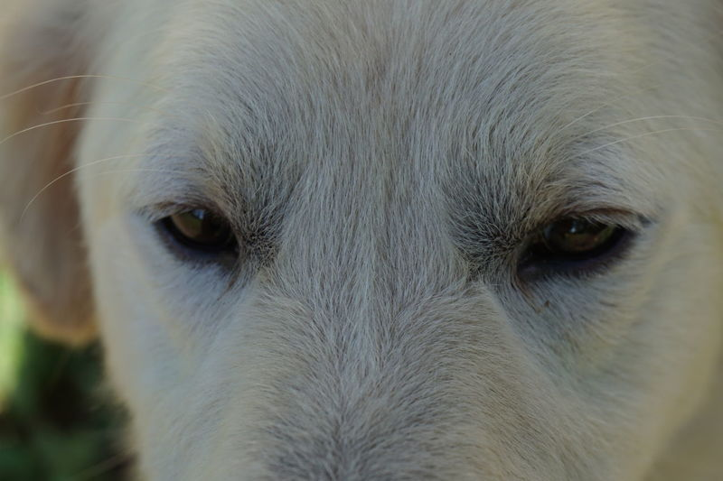 reflection of eyes Animal Body Part Animal Eye Animal Themes Best  Best Friend Canine Close-up Day Dog Domestic Animals Dominant Friend Great Hair Hybrid Looking At Camera Male Dog Mammal Nature No People One Animal Outdoors Pets Portrait White