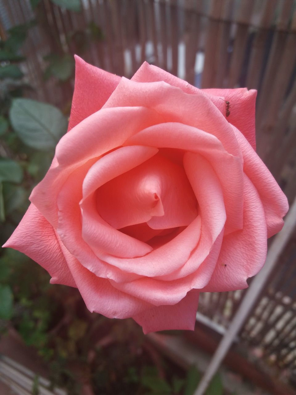 CLOSE-UP OF PINK ROSE IN SUNLIGHT