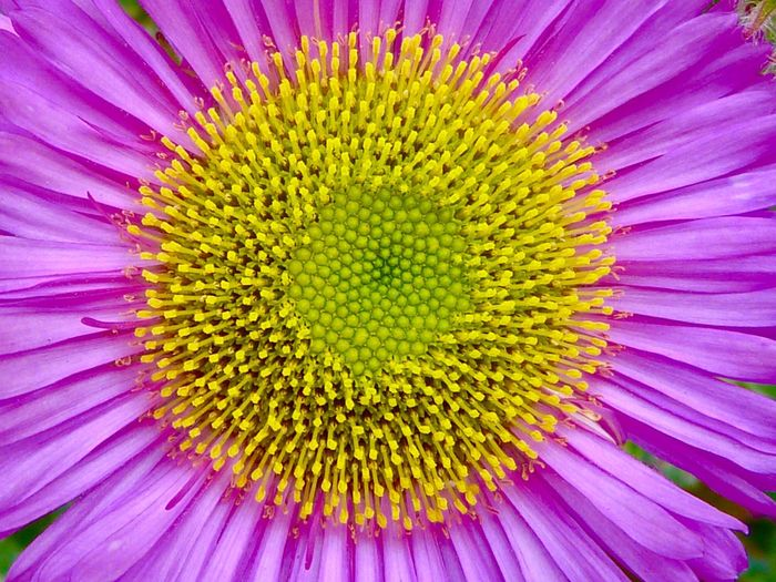 Erigeron Flower Macro Photography Petal Fragility Multi Colored Beauty In Nature Nature Yellow Freshness Purple Backgrounds Flower Head Full Frame Plant Macro Vitality Close-up Variation No People Outdoors Growth