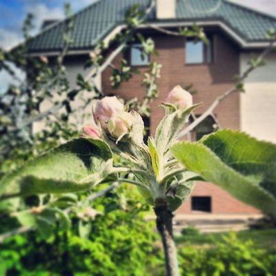 Будущий яблоневый цвет