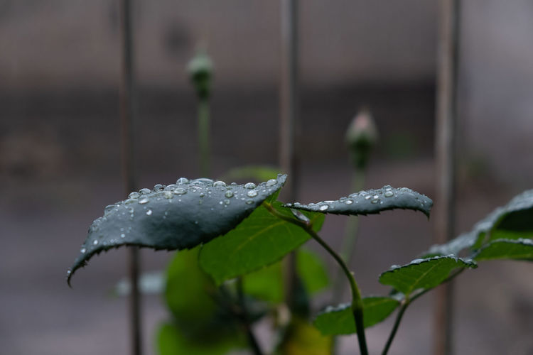 Beauty In Nature Close-up Cold Temperature Day Dew Drop Focus On Foreground Green Color Growth Leaf Leaves Nature No People Outdoors Plant Plant Part Purity Rain RainDrop Rainy Season Selective Focus Snow Water Wet Winter
