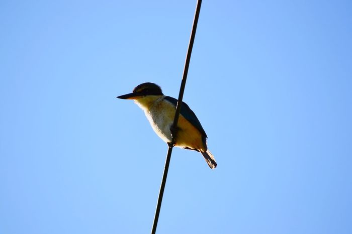 Woody Woodpecker Cables Telephone Wires Pylons Birds Bird Photography Wildlife New Zealand Hamilton