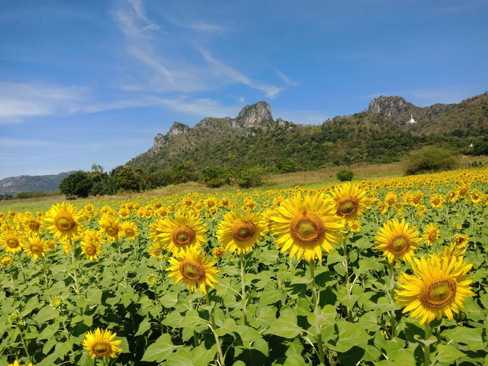 Flower Plant Yellow Agriculture Landscape Cloud - Sky Crop  Field Sky Nature Growth Flower Head Rural Scene Beauty In Nature Mountain Outdoors Day Scenics No People Sunflower