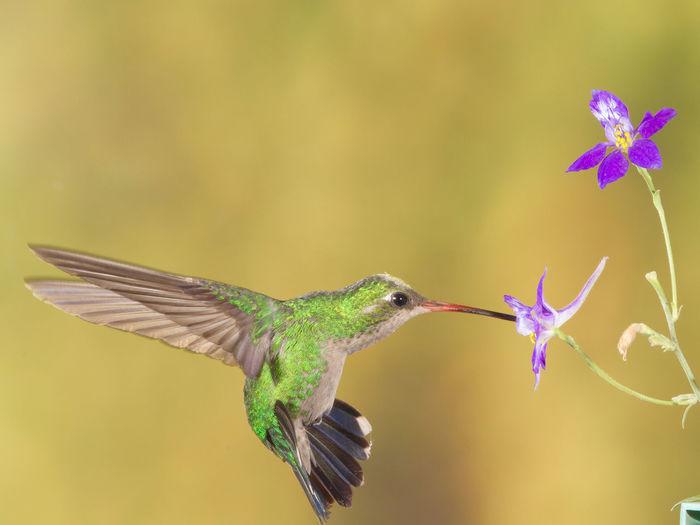 Close-up of hummingbird feeding on flower