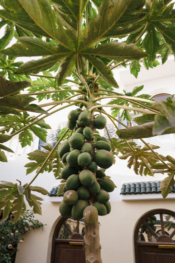 Papaya Tree in Backyard in Morocco Plant Growth Nature No People Day Outdoors Marocco Landscape Africa North Africa Papaya Palm Tree Tropics Garden Food And Drink Tree Healthy Eating Fruit Food Green Color Leaf Plant Part Freshness Low Angle View Wellbeing Architecture Agriculture Ripe Morocco Morocco Landscape