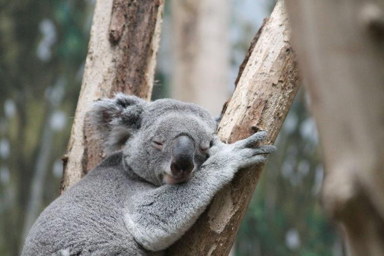 Close-up of a koala on tree trunk