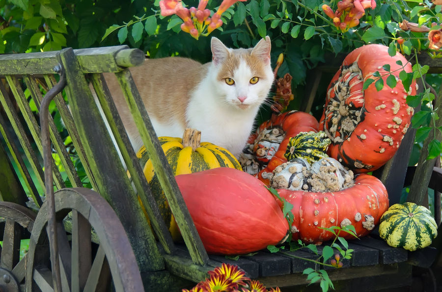Red-White cat, European Shorthair, in an old wooden cart with pumkins. Autumn Autumnal Gardens Cucurbita Fruits Halloween Rural Animal Themes Attentive Cat Bicolour Cat Countryside Cute Cats Domestic Cat Ekh European Shorthair Feline Garden Gourds Handcart Outdoors Pets Pumpkin Rack Waggon Red White Cat Squash Vintage Wooden Cart