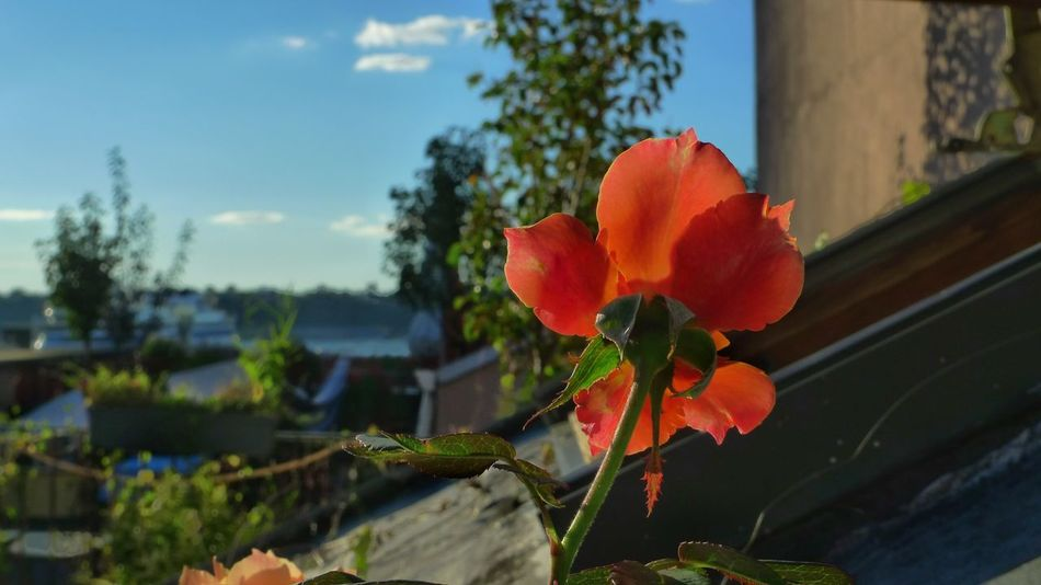Rooftop rose. Flower Fragility Flower Head Focus On Foreground Beauty In Nature Red Nature Sky Vibrant Color Single Flower Cloud Photography 📷=🖌🎨
