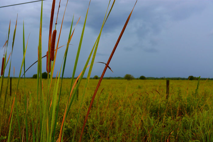 Beauty In Nature Cat Tails Florida Pasture Landscape Rural Scene Sebastian, Fl St Sebastian River Preserve State Park Stormy Skies Colour Of Life