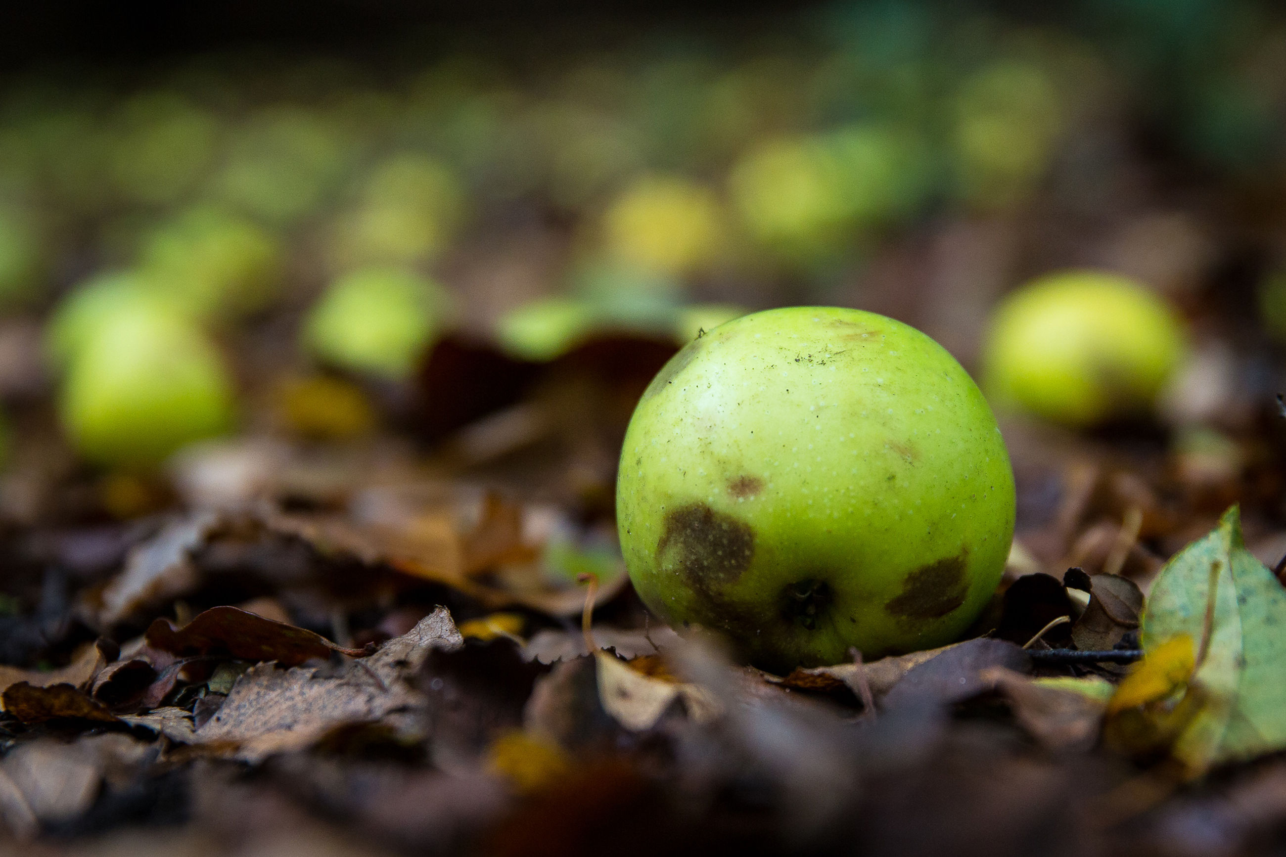 close-up, leaf, selective focus, focus on foreground, green color, nature, fruit, growth, day, outdoors, no people, yellow, field, autumn, ground, plant, moss, growing, dry, tranquility