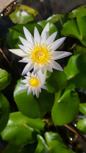 Flower Leaf Nature Plant Petal Flower Head Beauty In Nature Fragility Freshness Close-up Green Color Uncultivated Outdoors Springtime Day Growth No People Yellow Beauty Summer Lotus Flower Lotus Flower Water Lotus♥ Lotus