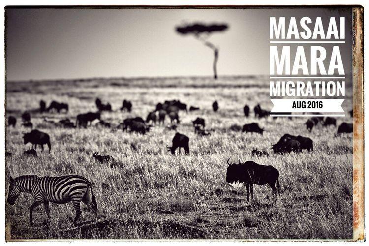 Wildlife wildebeeste Masaai Mara