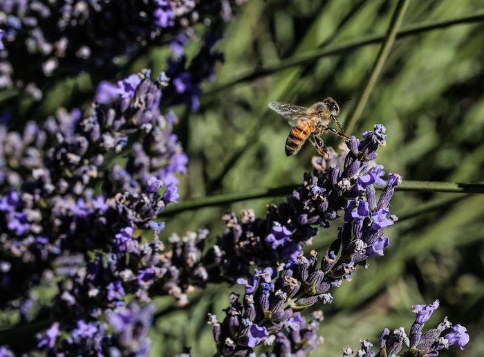 Honey bee on lavender flower during sunny day