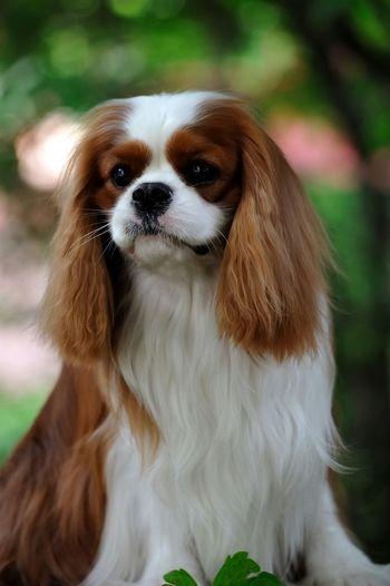 Amazing Leo Cavalier King Charles Spaniel Ckcs Dog Cavalierkingcharlesspaniel Dog Show Blenheim