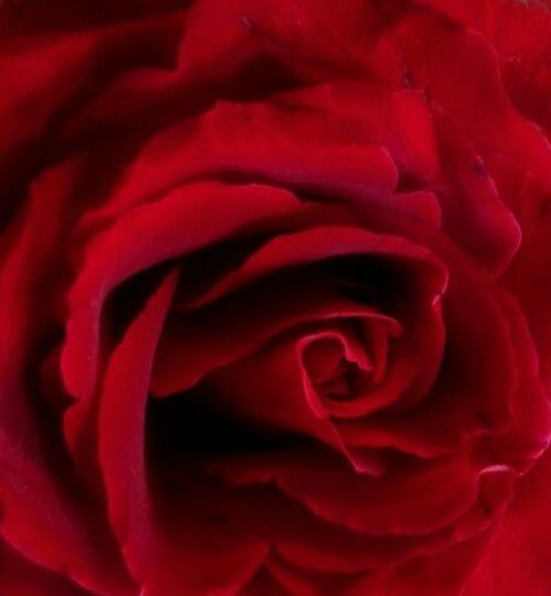 It's a gooď year for the roses. Red Rose Roses Elvis Costello Fotofantast Photography Flower Taking Photos Love Liefde