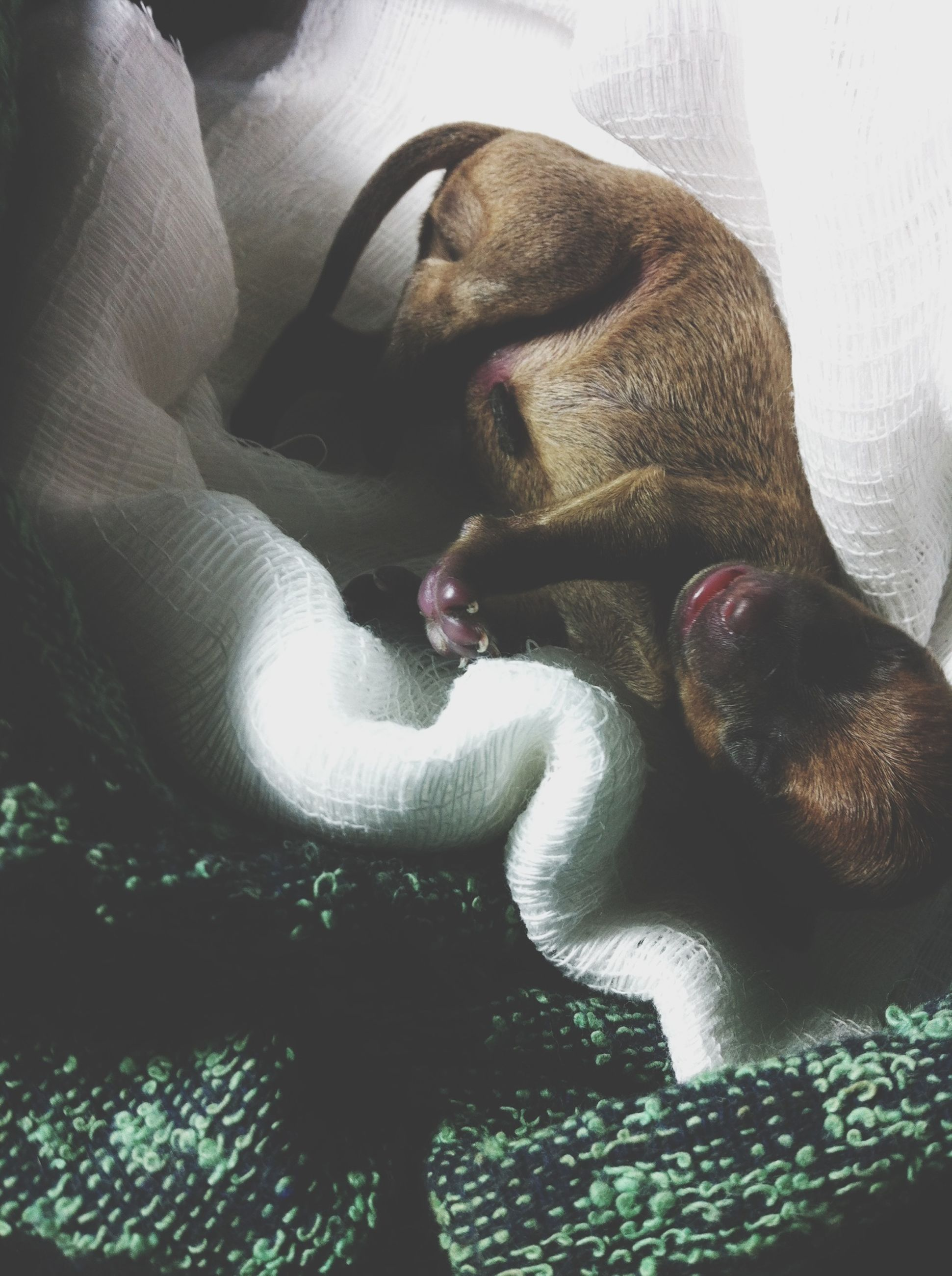 animal themes, pets, domestic animals, one animal, dog, mammal, indoors, relaxation, resting, sleeping, lying down, high angle view, home interior, one person, close-up, sofa, bed, comfortable, sitting, togetherness