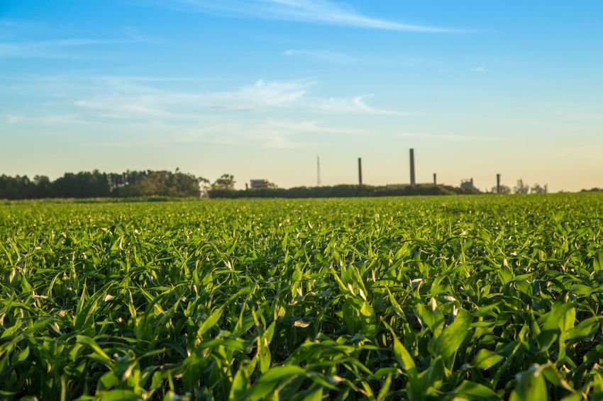 Agriculture Architecture Beauty In Nature Built Structure Cereal Plant Day Field Green Color Growth Industry Nature No People Outdoors Rural Scene Scenics Sky Sorghum Tree