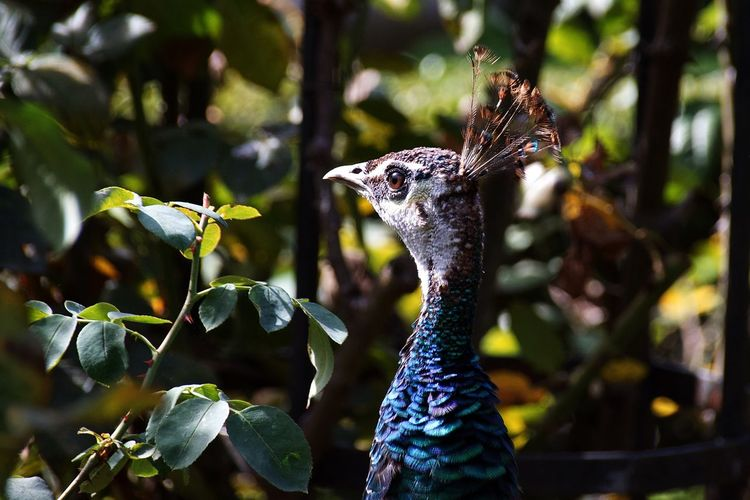 Side portrait profile of a pen hen, a female peafowl Peacock Feathers Peacock Peahens Peahen Peafowl Head Peafowl Animal Themes Animals In The Wild Focus On Foreground Bird Nature Day Animal Wildlife Beauty In Nature Tree Close-up Outdoors One Animal No People