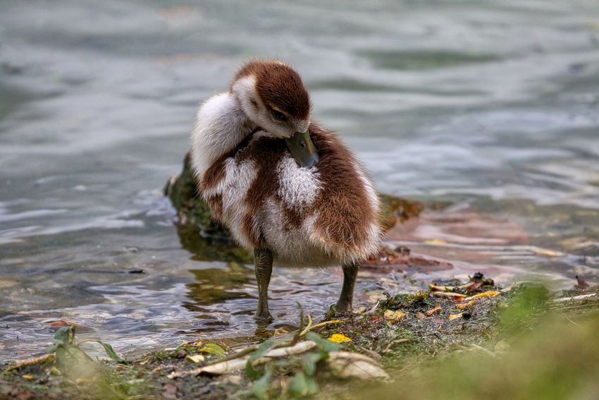 Egyptian Gosling Animal Animal Themes Animal Wildlife Animals In The Wild Beach Bird Cygnet Day Full Length Gosling Lake Nature No People One Animal Outdoors Selective Focus Vertebrate Water Young Animal Young Bird
