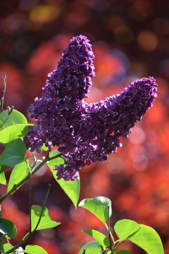 'Purple Lilac
