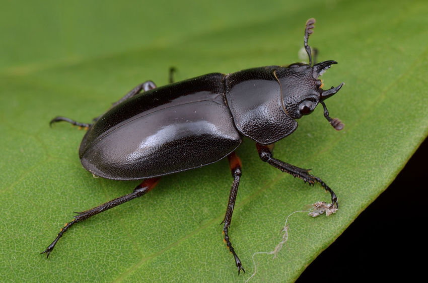 macro image of a stag beetle on green leaf Animals In The Wild Borneo Bug Wildlife Photography Animal Themes Beetle Black Color Close Up Creature Fauna Fermale Insect Invertebrate Leaf Lucanus Macro Nature Stag Beetle Wildlife