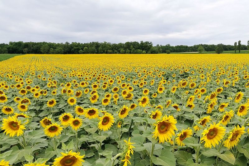 Flower Growth Field Freshness Abundance Nature Day Beauty In Nature Crop  Agriculture Cloud - Sky Yellow Outdoors Fragility Plant Sky No People Flower Head Rural Scene Close-up Sunflowers Heviz Hungary