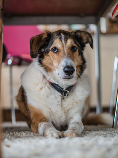 Pets Domestic Canine Dog Domestic Animals Mammal One Animal Vertebrate Looking At Camera Portrait Indoors  No People Focus On Foreground Sitting Relaxation Selective Focus Close-up Jack Russell Terrier