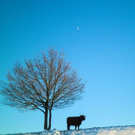 Philosophical Galloway. Moon Moonlight Animals Animales love nature animallovers snow winter season Hunsrück Germany