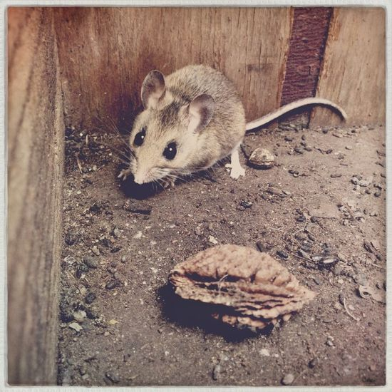 Cute Field Mouse Stowaway