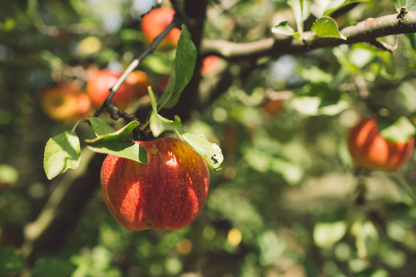 Fruit Food Food And Drink Healthy Eating Plant Growth Freshness Focus On Foreground Tree Nature Close-up Day Leaf Plant Part Wellbeing No People Green Color Fruit Tree Outdoors Branch Ripe