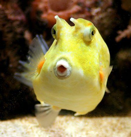Kofferfisch Boxfish Aquarium Life Aquarium Fish Fisch Sea Life Sealife Animal Portrait EyeEm Animal Lover EyeEm Nature Lover Eyemphotography Eyem Gallery Animal_collection Animal Photography Tiere/Animals Tiere♡ Capture The Moment Animals