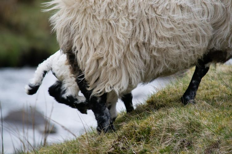 Lamb Rural Scotland Wildlife & Nature Wildlife Photography Animal Animal Themes Field Grass Grazing Livestock Nature No People Rural Scene Sheep White White Color Wool