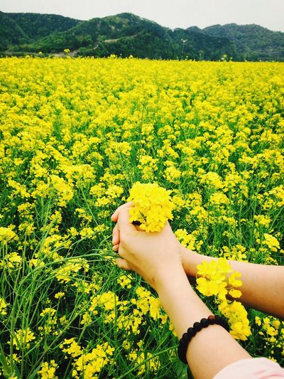Cropped hands of woman holding rapeseed flowers on field