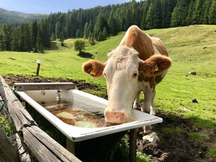 Dolomites, Italy Drink Water Livestock Animal Themes Mammal Domestic Animals Domestic Animal Plant Pets Land Tree Nature Green Color Cow One Animal Field Landscape